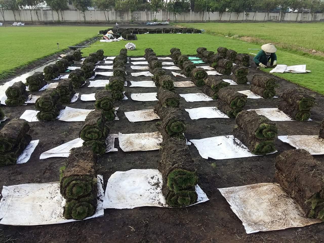 Dịch vụ trồng cỏ xanh KCN Tiền Giang