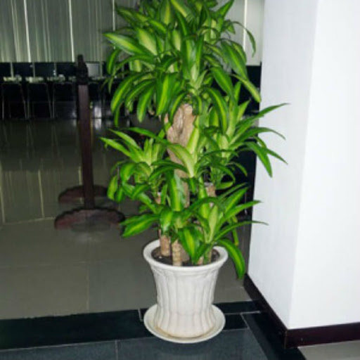 Cho thuê cây xanh văn phòng tại Dĩ An