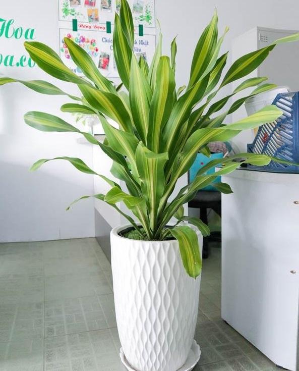 Cho thuê cây xanh văn phòng tại Thủ Dầu Một