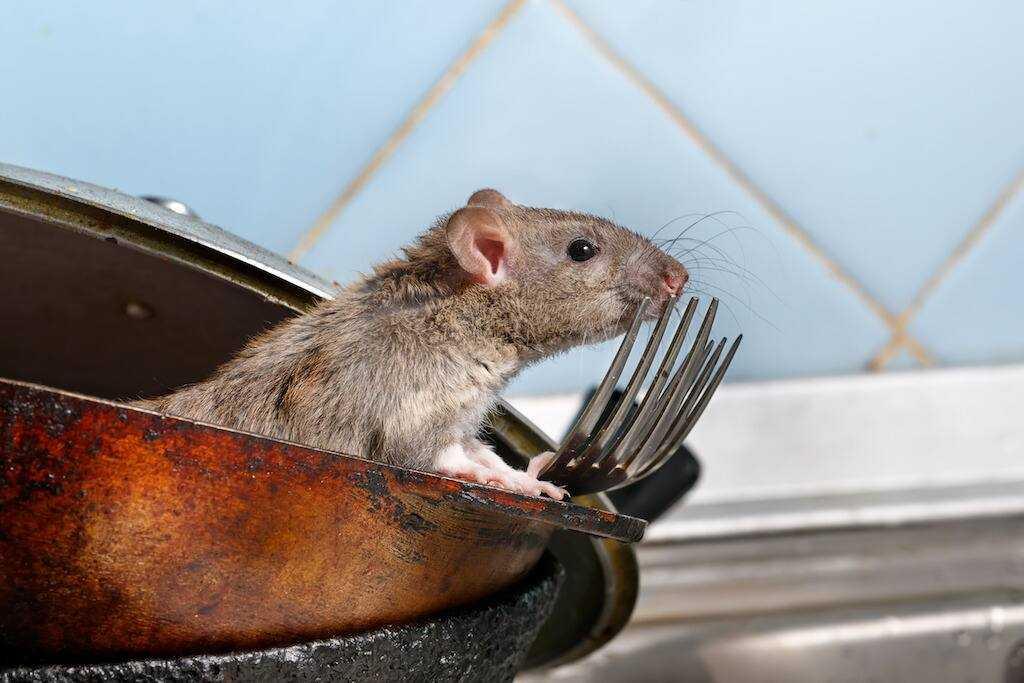 Dịch vụ diệt chuột tại nhà ở Bình Dương
